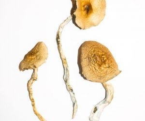 Golden Teachers Magic Mushrooms