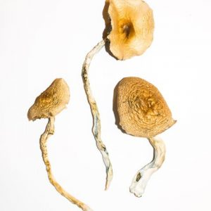 Golden Teacher – Magic Mushrooms 1