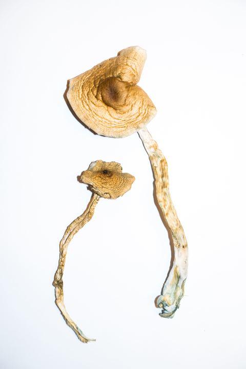 Golden Teacher – Magic Mushrooms 3