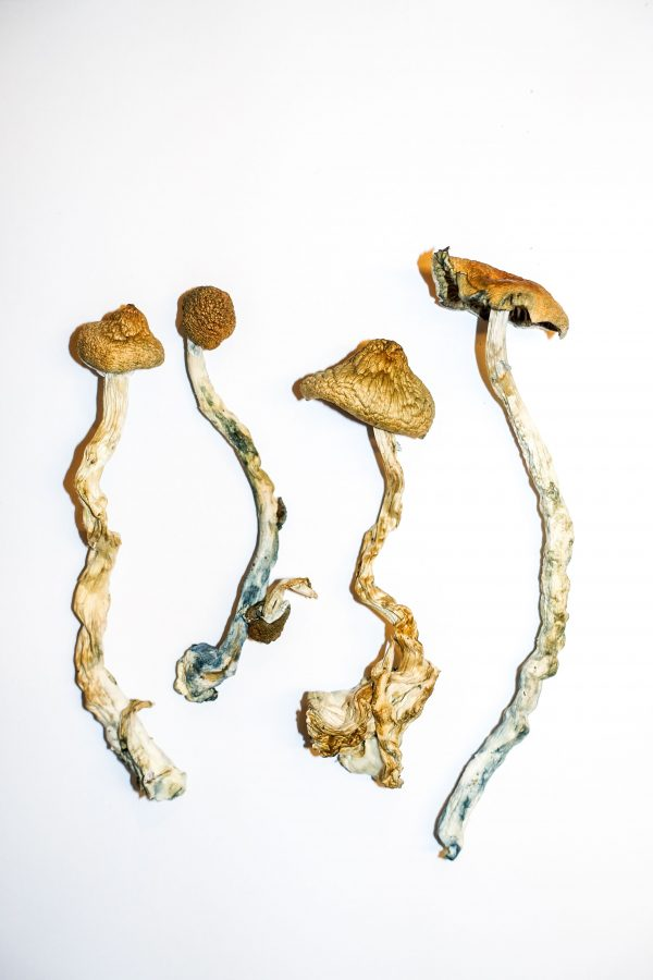 Golden Teacher – Magic Mushrooms