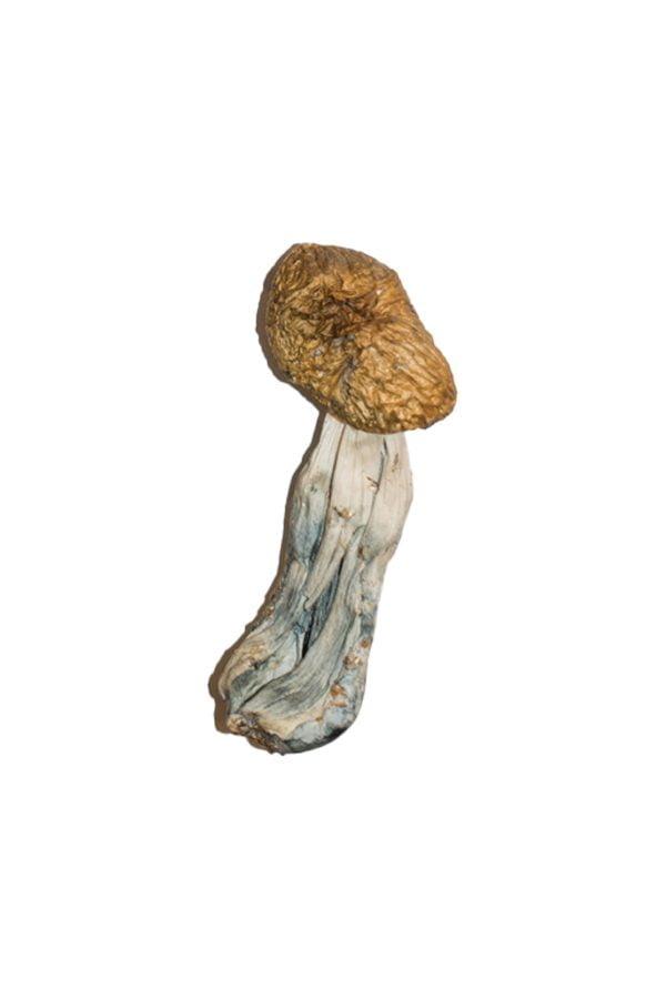 Big Mex Magic Mushrooms Strain 2