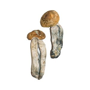 Big Mex Magic Mushrooms Strain
