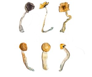 Magic Mushroom Sampler Kit / Tasting Menu