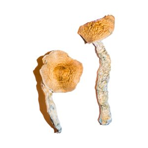 Transkei Magic Mushrooms