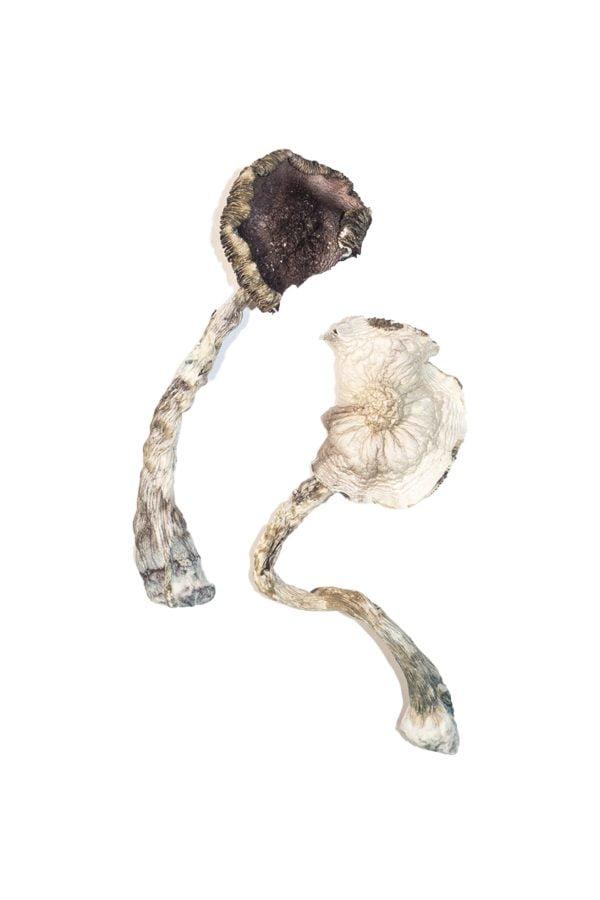 Albino A Magic Mushrooms 4