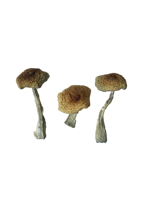 Psilocybe Aztecorum Magic Mushrooms