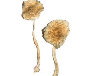 Cuban Magic Mushrooms