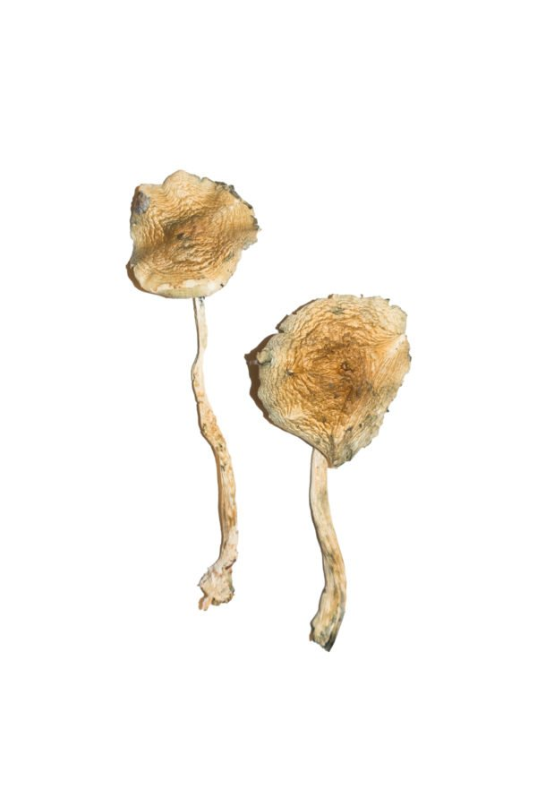 Cuban Magic Mushrooms