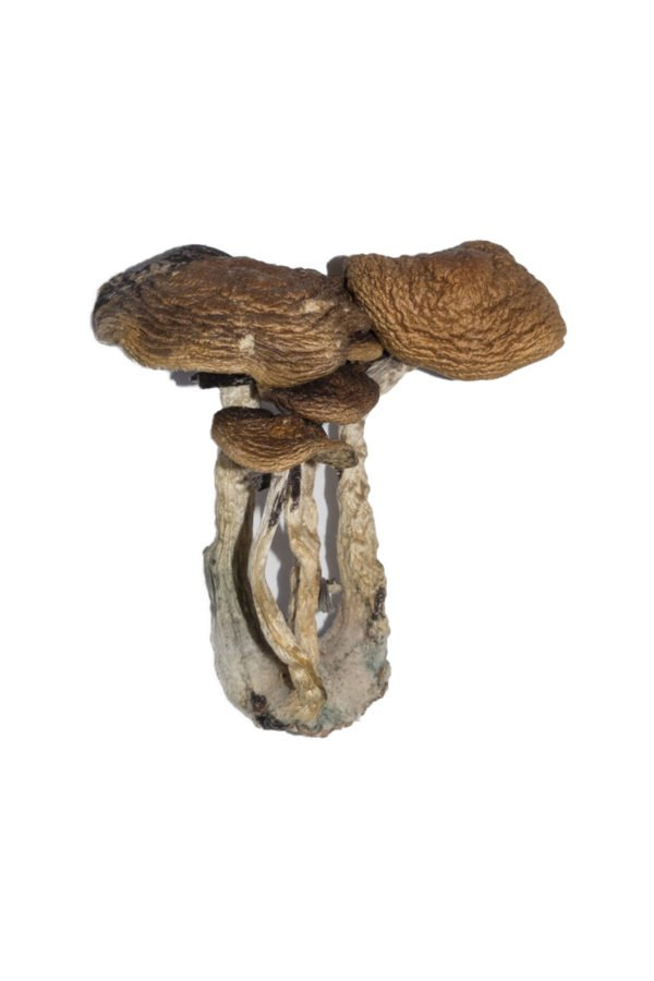 South American Shrooms