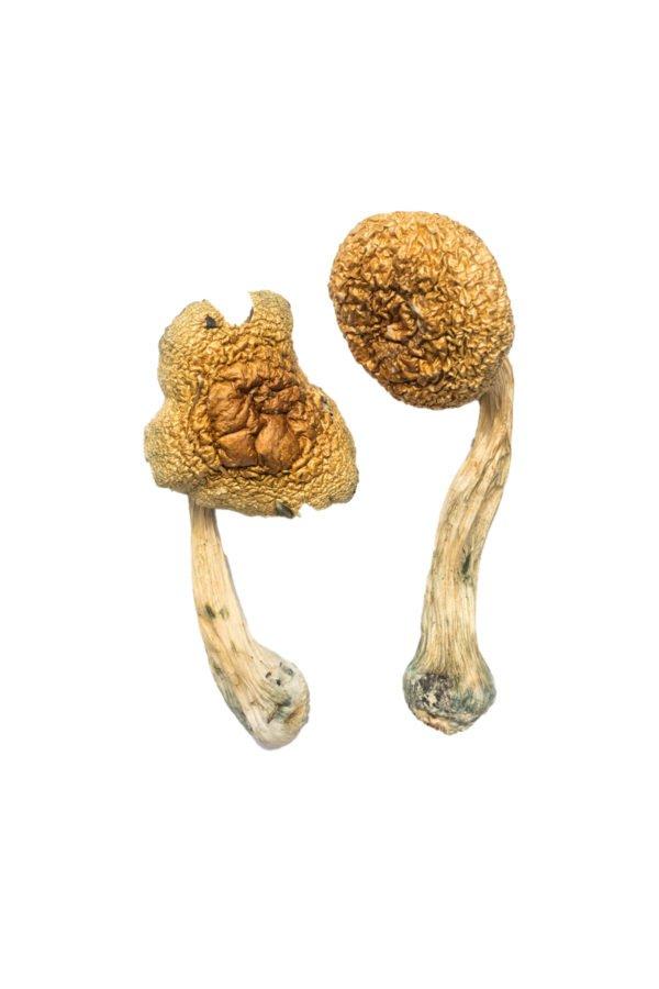 Champignons de mammouths dorés
