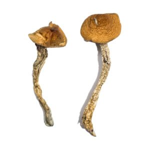 Daddy Long Legs Magic Mushrooms