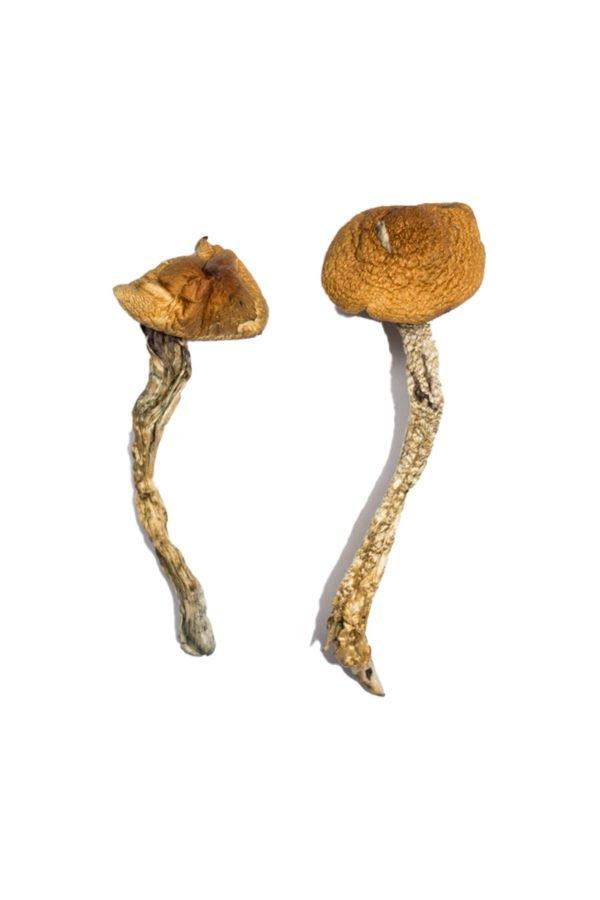 Daddy Long Legs Magic Mushrooms