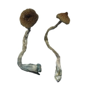 Costa Rican Magic Mushrooms