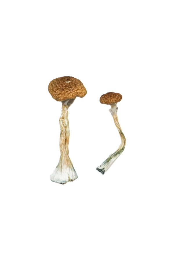 Puerto Rican Magic Mushrooms