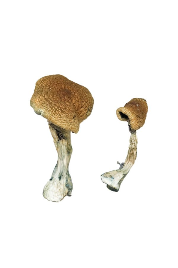Texas Yellow Cap Magic Mushrooms