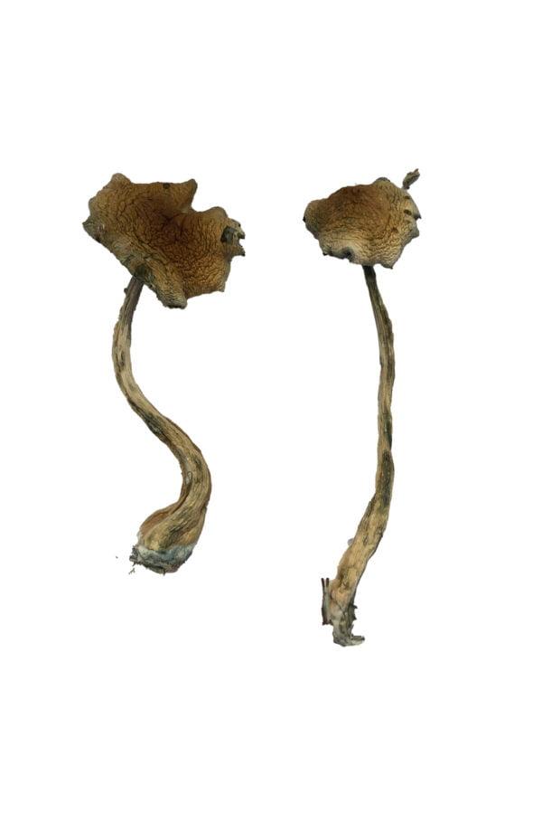 Alacabenzi Magic Mushrooms