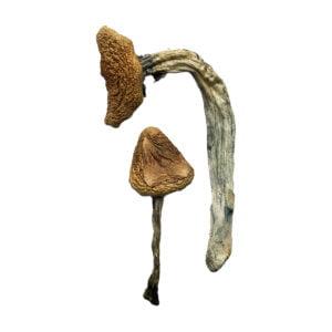 Jedi Mind Fuck Magic Mushrooms