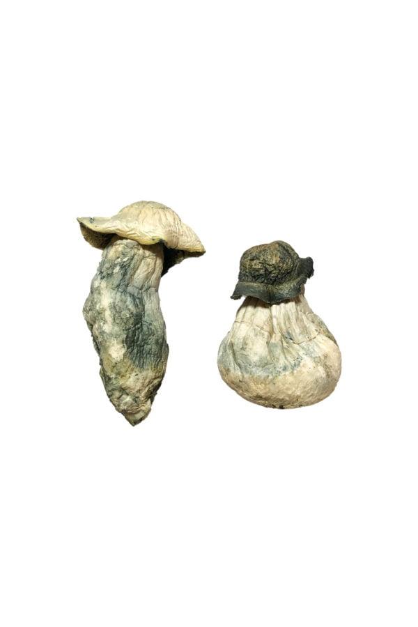 Albino Penis Envy Magic Mushrooms