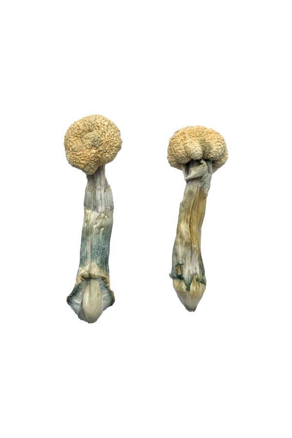Albino Treasure Coast Magic Mushrooms