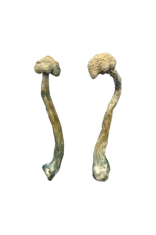 Albino Treasure Coast Shrooms
