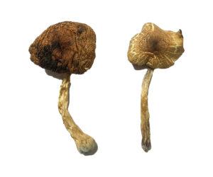 Lizard King Magic Mushrooms