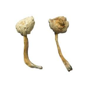 Rusty Whyte Magic Mushrooms