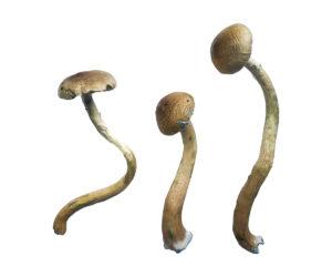 Golden Teacher Special Magic Mushrooms