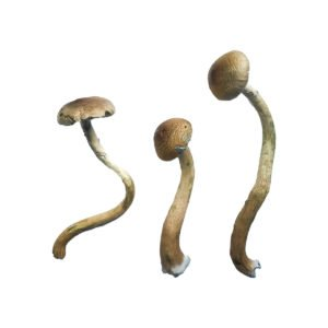 Golden Teacher Special Magic Mushrooms