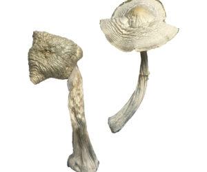 Albino Louisiana Magic Mushrooms