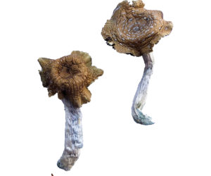 Florida White (F+) Magic Mushrooms