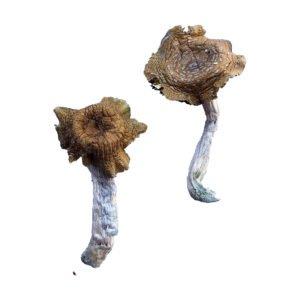 Florida White F Magic Mushrooms
