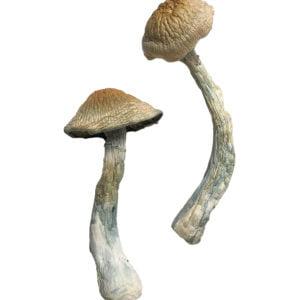 HillBilly Magic Mushrooms