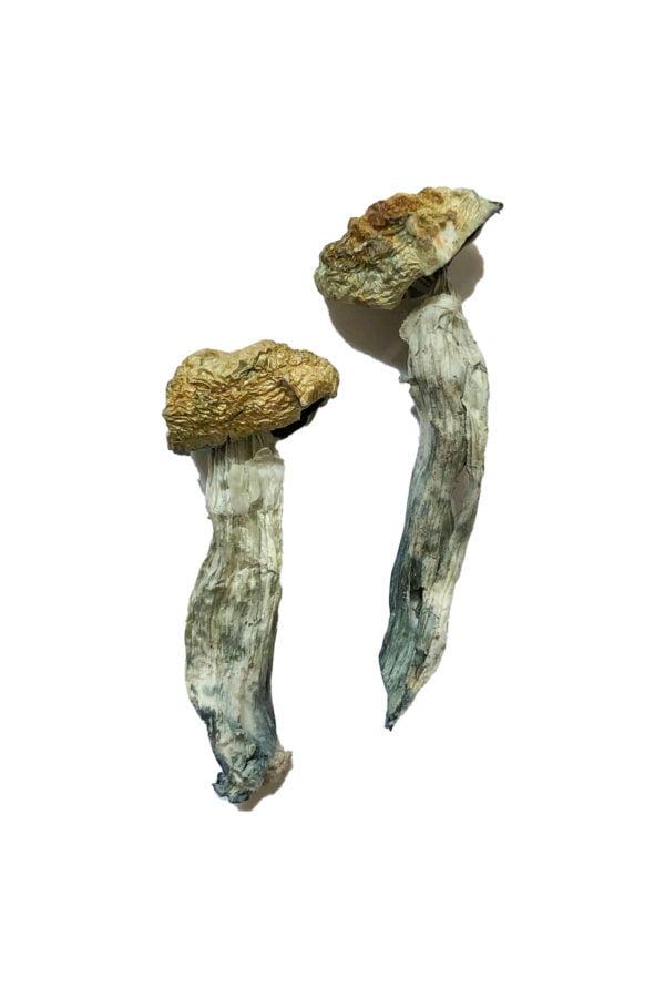 Mazatapec Magic Mushrooms