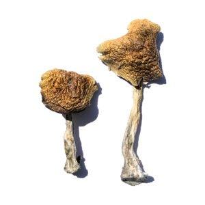 Wollongong Magic Mushrooms Product 1