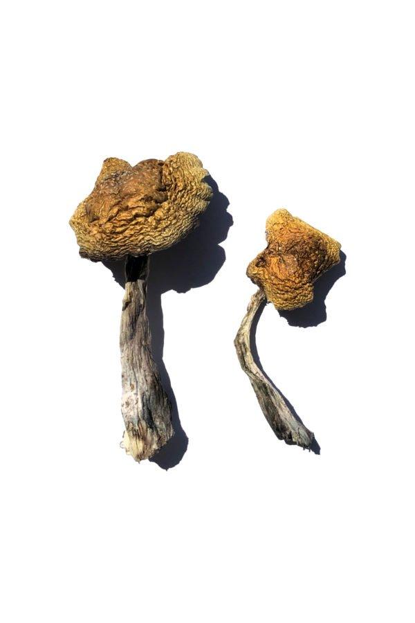 Wollongong Magic Mushrooms Product 2