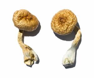 Cambodian Gold Magic Mushrooms