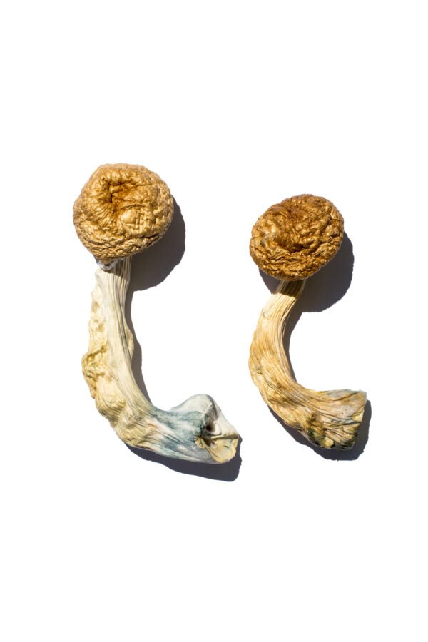 Cambodian Gold Shrooms