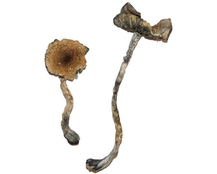 Blue Meanie Magic Mushroom Strain Feature