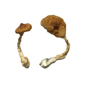 Koh Samui Super Strain Magic Mushrooms