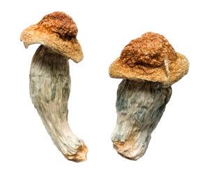 Melmac (Homestead Penis Envy) Magic Mushrooms