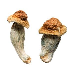 Melmac Homestead Penis Envy Magic Mushrooms