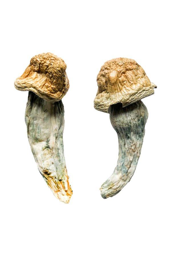 Penis Envy XL Magic Mushrooms