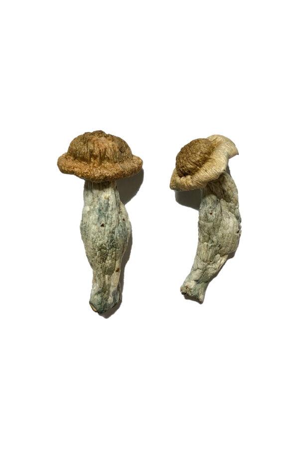 Shepherds Cut Penis Envy Magic Mushrooms