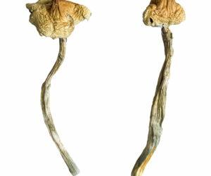 Huautla Magic Mushrooms